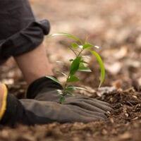 Image of gloved hands planting a seedling.